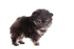 Miniature Spitz puppy on white Stock Photography