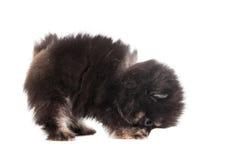 Miniature Spitz puppy on white Royalty Free Stock Photo