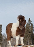 Miniature stallion Royalty Free Stock Photography