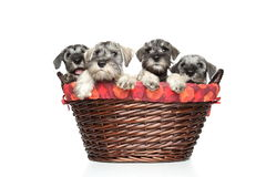 Miniature and standard schnauzer puppies in basket Royalty Free Stock Images