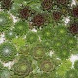 Miniature succulent plants close up - cactus collection Stock Images
