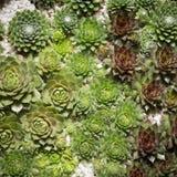Miniature succulent plants close up  , cactus plants macro Stock Photos