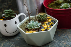 Miniature Succulent Plants in Different Pots on Blue Wooden Back Royalty Free Stock Photo