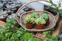 Miniature succulent plants Stock Photos