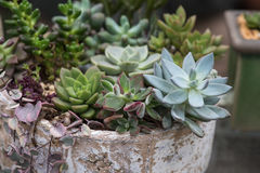 Miniature succulent plants Royalty Free Stock Photo