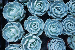 Miniature succulent plants Royalty Free Stock Images