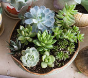 Miniature succulent plants Stock Photography