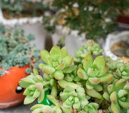 Miniature succulent plants Royalty Free Stock Image