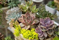 Miniature succulent plants Royalty Free Stock Images