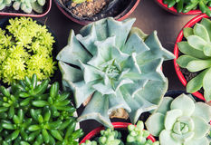 Miniature succulent plants Stock Image