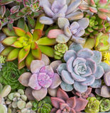 Miniature succulent plants Royalty Free Stock Photo