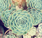 Miniature succulent plants. In garden stock photography