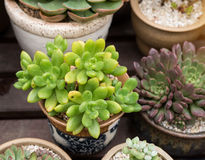 Miniature succulent plants Royalty Free Stock Photography