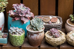 Miniature succulent plants. In garden royalty free stock photos