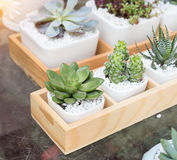 Miniature succulent plants. In garden royalty free stock photography