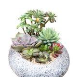 Miniature succulent plants. In garden stock photography