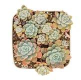 Miniature succulent plants. In garden royalty free stock photos
