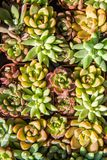 Miniature succulent plants. In garden royalty free stock photo