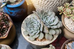 Miniature succulent plants. In garden stock photo