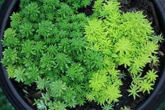 Miniature succulent plants in pot. Miniature succulent plants in pot with water drop stock photos