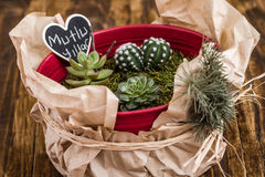 Miniature Succulent Plants in Red Pot on Wooden Background Stock Photography