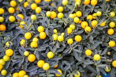Miniature tangerines grow on the branches of a green Bush.  stock image