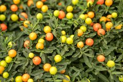 Miniature tangerines grow on the branches of a green Bush.  stock photos
