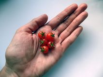 Miniature tomatoes in the hand dwarfish dwarf bonsai. Miniature tomatoes dwarfish dwarf bonsai hand palm red tomato harvest variety small italian cherry Royalty Free Stock Photos
