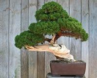 Miniature Tree royalty free stock photo