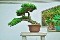 Miniature tree. Beautiful Bonsai in the sunshine Stock Photo