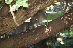 Miniature water feature. Monkey at a lucky shot!  peeping between the branches Royalty Free Stock Images