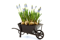 Miniature of wheelbarrow filled with blue grape hyacinth Stock Photos