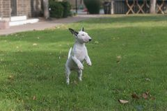 Mini bull terrier puppy standing on hind legs stock photography