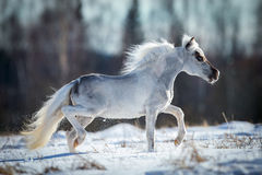 Miniature white horse runs in snow Royalty Free Stock Images