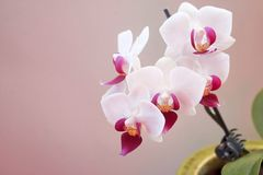 Miniature white and pink orchid in pot stock photos