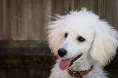 Miniature white poodle. Headshot in natural light Stock Image