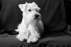 Miniature white schnauzer on armchair. Miniature white schnauzer sitting on armchair Stock Images