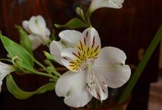 Miniature wild lily Stock Image
