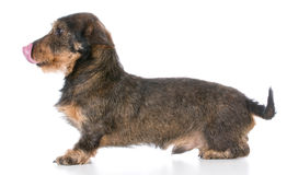 Miniature wirehaired dachshund Royalty Free Stock Image