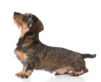 Miniature wirehaired dachshund Royalty Free Stock Photos