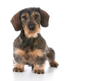Miniature wirehaired dachshund Stock Photography