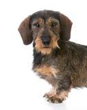 Miniature wirehaired dachshund Stock Photos