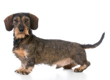 Miniature wirehaired dachshund Royalty Free Stock Photo