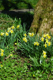 Miniature Woodland Daffodils. Miniature daffodils round the base of a large tree trunk in a woodland setting. Depicting spring rather nicely Royalty Free Stock Photography