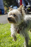 Miniature Yorkshire Terrier Dog Royalty Free Stock Photos