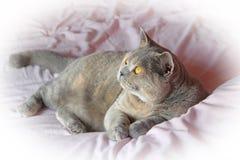 Miniatur britische shorthair Katze Stockfotos