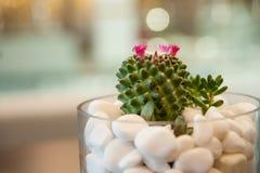 Miniaturowa kaktusowa tłustoszowata roślina Selekcyjna ostrość Fotografia Royalty Free
