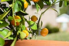 Miniaturowe pomarańcze w garnku obrazy stock