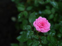 Miniaturowe róże Zdjęcie Stock
