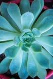 Miniaturowe sukulent rośliny Zdjęcia Stock